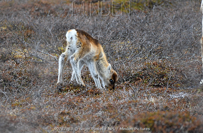 Reindeer calf (Rangifer tarandus) feeding on lichen. Sandvik, Porsanger, Finnmark, Norway, May.