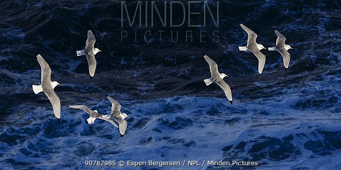 Kittiwakes (Rissa tridactyla) in flight over the sea off Hornoya birdcliff, Vardo, Norway. March