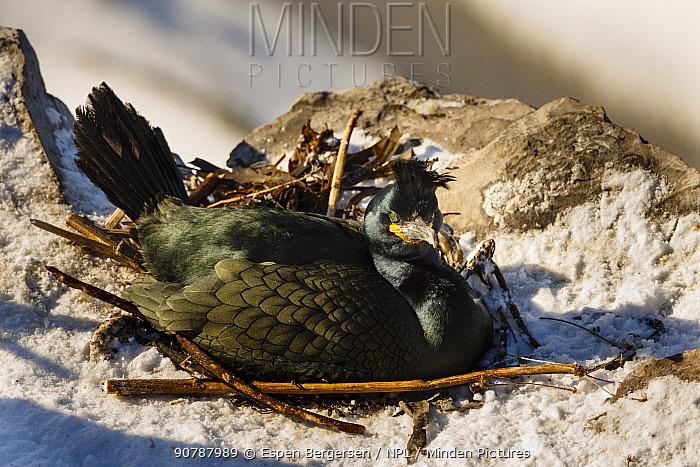 European shag or common shag (Phalacrocorax aristotelis) on nest. Hornoya birdcliff, Vardo, Norway. March