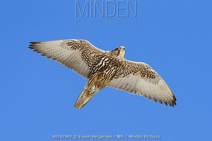 Gyrfalcon (Falco rusticolus). Hornoya birdcliff, Vardo, Norway. March