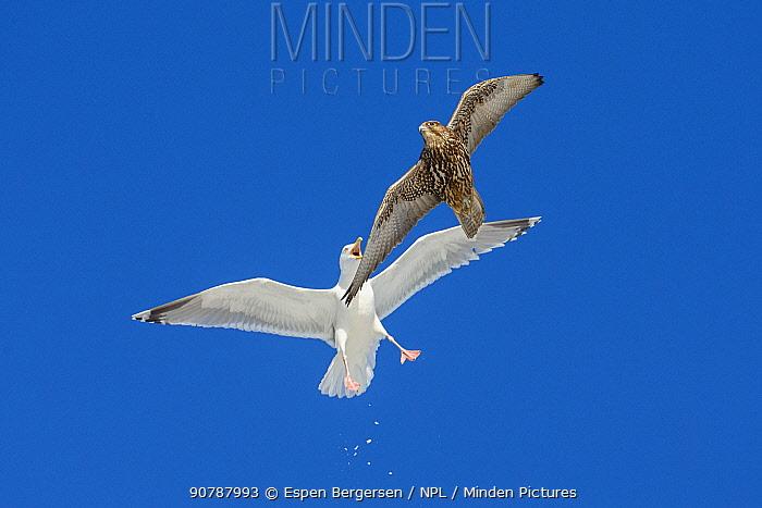 Gyrfalcon (Falco rusticolus) attacked by Herring gull (Larus argentatus). Hornoya birdcliff, Vardo, Norway. March
