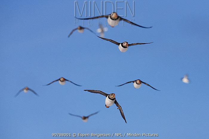Atlantic puffin (Fratercula arctica) flock in flight, Hornoya birdcliff, Vardo, Norway. March