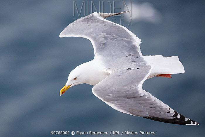 Herring gull (Larus argentatus) in flight near, Hornoya birdcliff, Vardo, Norway. March