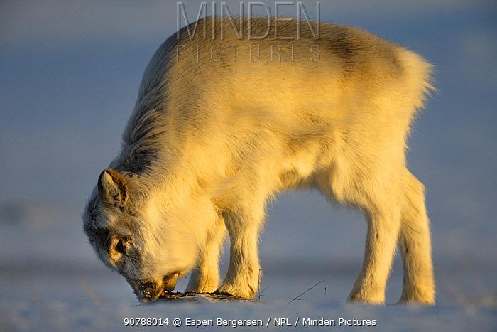 Young Svalbard reindeer (Rangifer tarandus platyrhynchus) eating. Svalbard, Norway. April.
