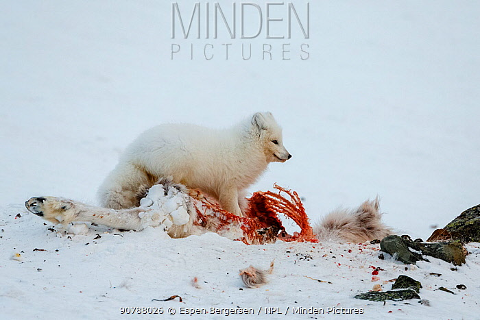 Arctic fox (Aloplex lagopus) feeding on a dead reindeer. Svalbard, Norway. April