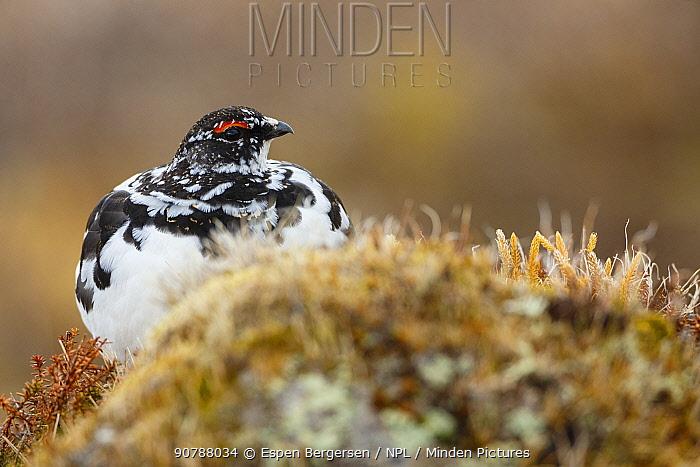Rock ptarmigan (Lagopus muta) male. Tromso. Norway. June.