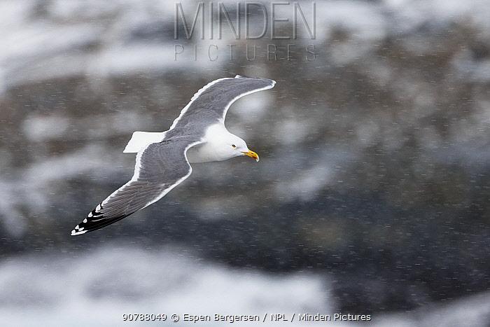 Herring gull (Larus argentatus) flying, Hornoya birdcliff, Vardo, Norway. March