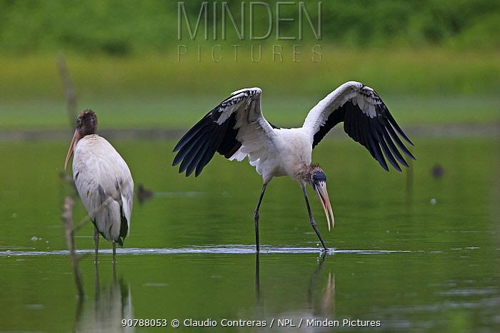 Wood stork (Mycteria americana) landing near Bahia Cacaluta, Bahias de Huatulco National Park, Oaxaca, southern Mexico, August