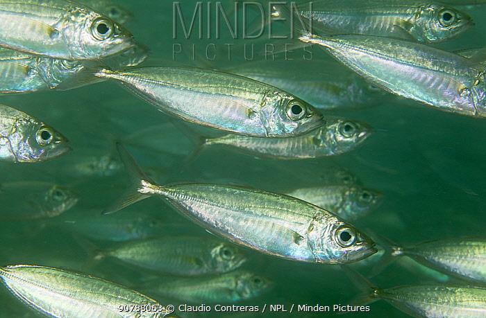 Bigeye Scad (Selar crumenophthalmus) shoal, San Agustin Bay, Huatulco Bays National Park, southern Mexico, November