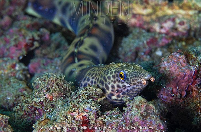 Redsaddled snake eel (Quassiremus nothochir), San Agustin Bay, Huatulco Bays National Park, southern Mexico, November
