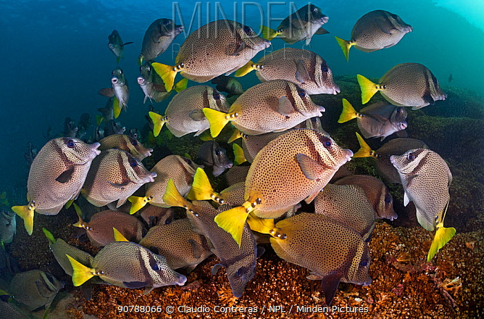 Yellowtail surgeonfish (Prionurus punctatus) over reef, San Agustin Bay, Huatulco Bays National Park, southern Mexico, November