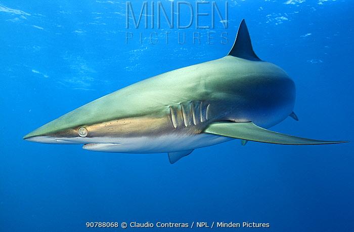 Silky Shark (Carcharhinus falciformis), Jardines de la Reina / Gardens of the Queen National Park, Caribbean Sea, Ciego de Avila, Cuba, January. Vulnerable species.