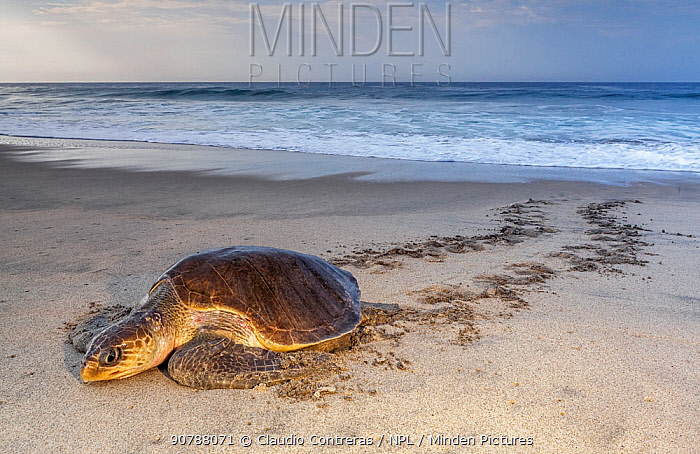 Olive ridley sea turtle (Lepidochelys olivacea) arriving to nest, Arribada (mass nesting event), Playa Morro Ayuta, Oaxaca state, southern Mexico, IUCN Vulnerable, August