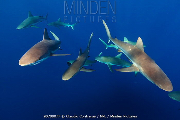 Caribbean reef shark (Carcharhinus perezi) group, Jardines de la Reina / Gardens of the Queen National Park, Caribbean Sea, Ciego de Avila, Cuba, January