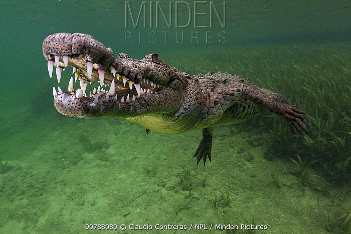 American crocodile (Crocodylus acutus), IUCN Vulnerable, Jardines de la Reina / Gardens of the Queen National Park, Caribbean Sea, Ciego de Avila, Cuba, January