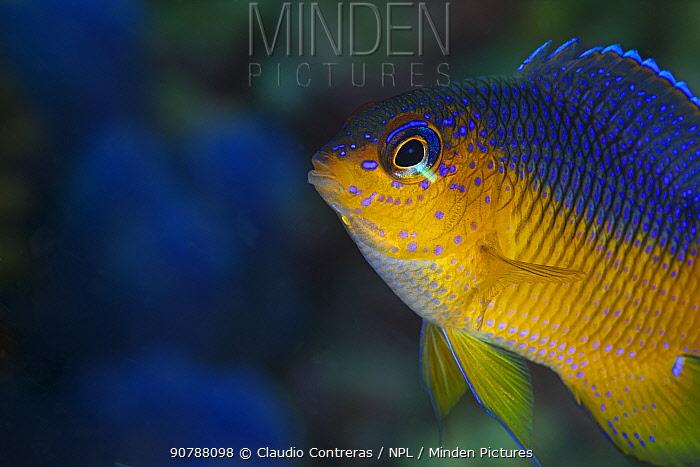 Beaubrummel (Stegastes flavilatus) juvenile, San Agustin Bay, Huatulco Bays National Park, southern Mexico, November