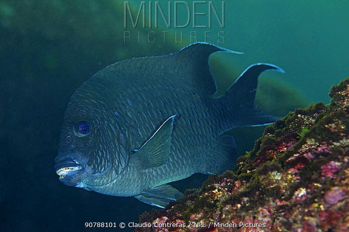 Giant damselfish (Microspathodon dorsalis), San Agustin Bay, Huatulco Bays National Park, southern Mexico, November
