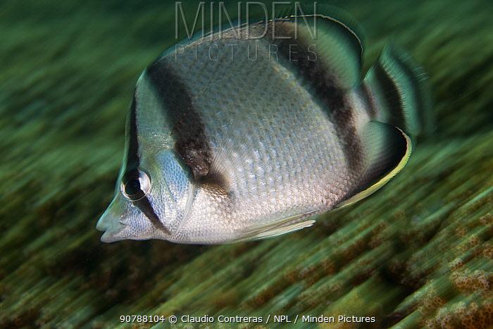 Threebanded butterflyfish (Chaetodon humeralis), San Agustin Bay, Huatulco Bays National Park, southern Mexico, November