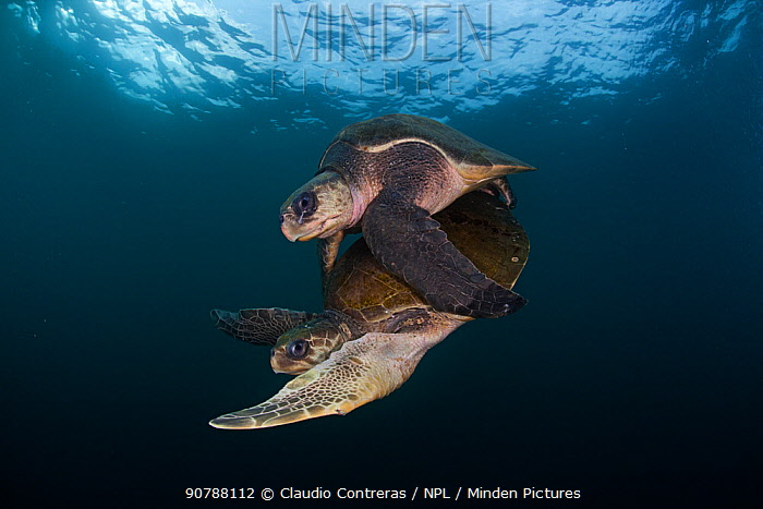 Olive ridley turtle (Lepidochelys olivacea) mating, Huatulco National Park, Oaxaca state, southern Mexico, IUCN Vulnerable, August