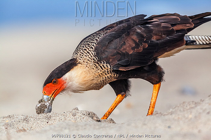 Crested caracara (Caracara cheriway) adult eating Olive Ridley Sea Turtle (Lepidochelys olivacea) egg, Arribada (mass nesting event), Playa Morro Ayuta, Oaxaca state, southern Mexico.