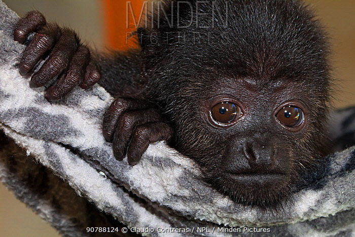 Yucatan black howler monkey (Alouatta pigra) orphan in process of reintroduction to the wild, Yucatan Black Howler Monkey conservation program, Los Aluxes Ecopark, Palenque, Chiapas, southern Mexico. Endangered species.
