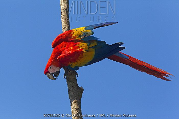 Scarlet Macaw (Ara macao), Scarlet Macaw reintroduction program, Palenque, Chiapas, southern Mexico, March