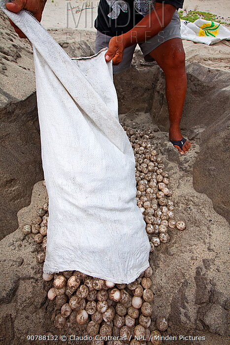 Biologist burying Olive Ridley Turtle (Lepidochelys olivacea) eggs seized from poachers by the authorities, Arribada (mass nesting event), Playa Morro Ayuta, Oaxaca state, southern Mexico. Vulnerable species.