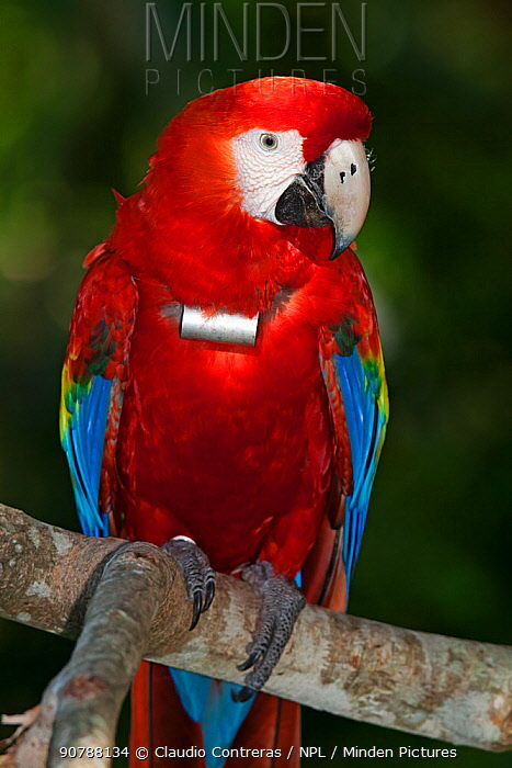 Scarlet Macaw (Ara macao) with radio transmitting collar, Scarlet Macaw reintroduction program, Palenque, Chiapas, southern Mexico, March