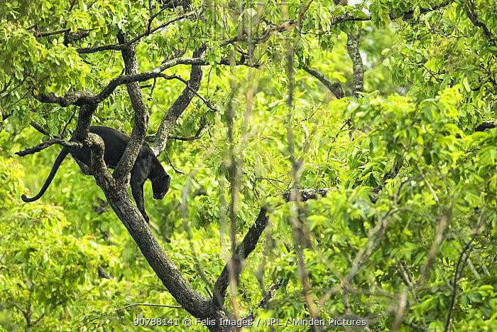 Melanistic Leopard / Black panther (Panthera pardus) male  in tree, Nagarahole National Park, Nilgiri Biosphere Reserve, Karnataka,  India.