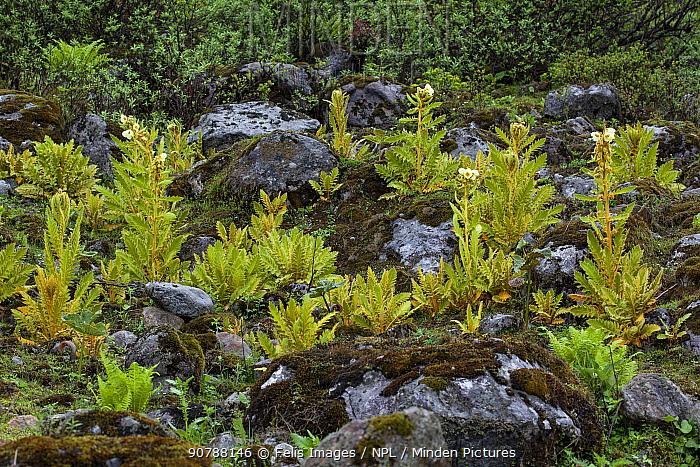 Panicled yellow poppy (Meconopsis paniculata) growing on rocky ground, Sikkim, India.