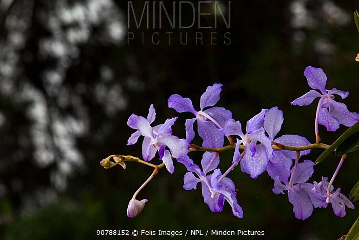 Vanda orchids (Vanda coerulea) West Bengal, India.