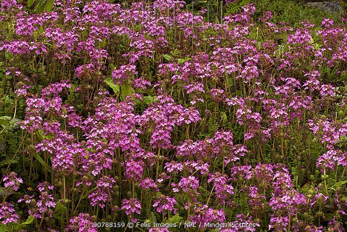 Royle's lousewort  (Pedicularis roylei) flowers, Sikkim, India.