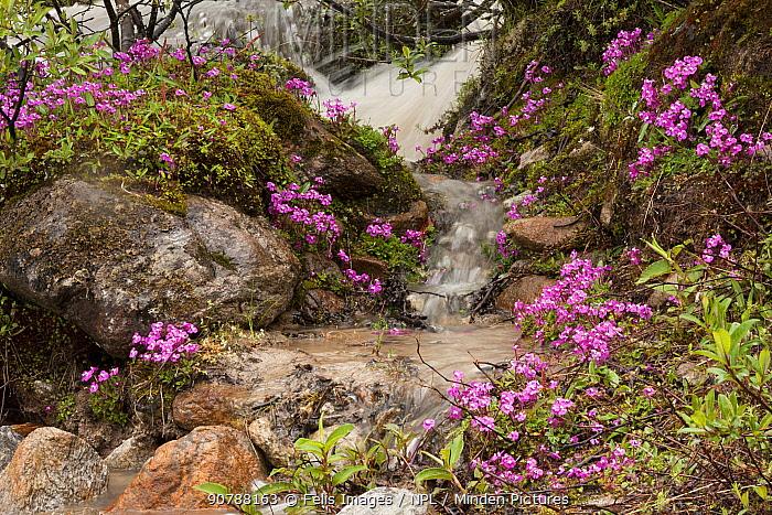 Tube lousewort (Pedicularis siphonantha) flowers by a waterfall, Sikkim, India.