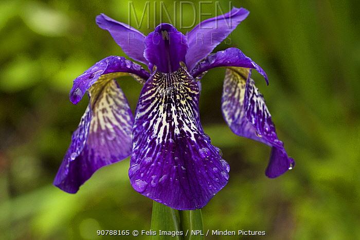 Iris (Iris clarkei) flower, Sikkim, India. July.