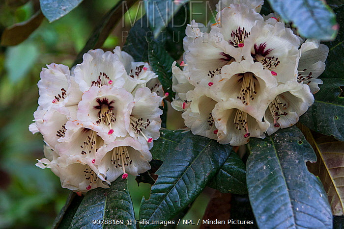 Rhododendron (Rhododendron grande) flowers, India.