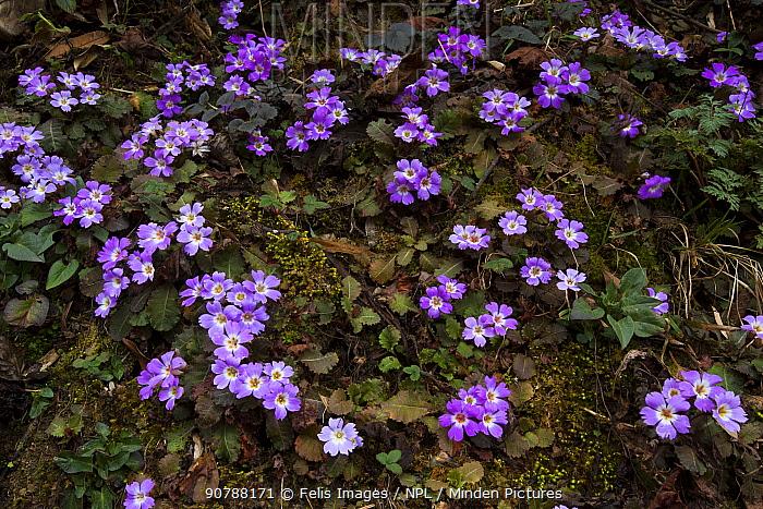 Primrose  (Primula boothii) flowers, Singalila National Park, West Bengal, India.