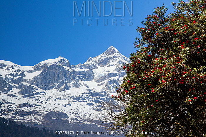 Rhododendron (Rhododendron thomsonii) flowers in front of snow covered mountains, Sikkim, India.