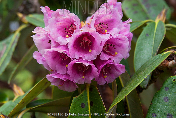 Rhododendron (Rhododendron hodgsonii) flowers, Sikkim, India.