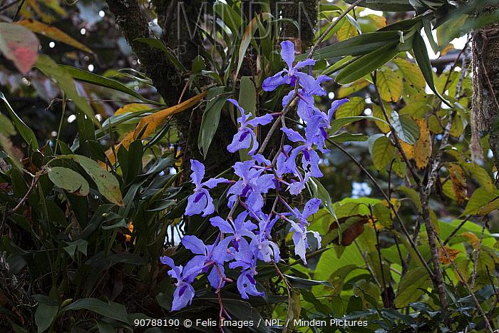Vanda orchids (Vanda coerulea) Sikkim, India.