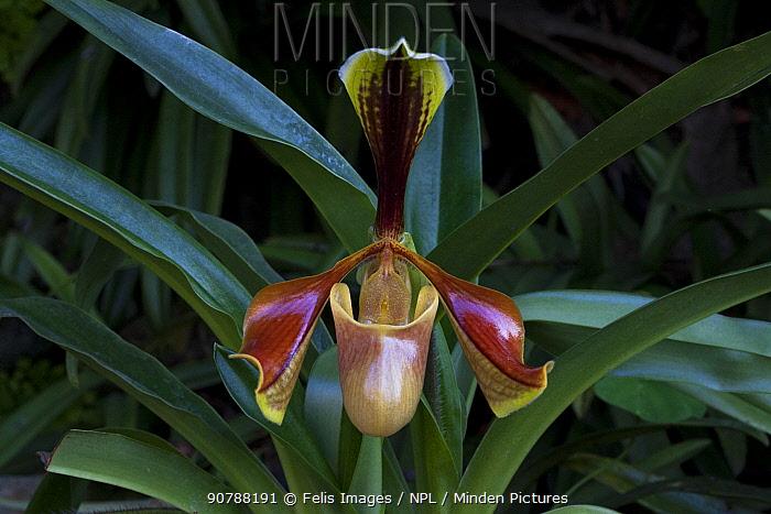 Venus slipper orchid (Paphiopedillum sp.) flower, Sikkim, India.