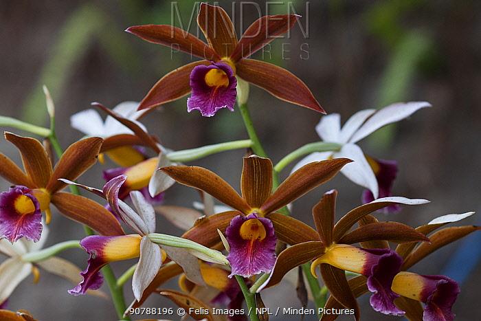 Nun's hood orchid (Phaius tankervilleae) flowers, Singalila National Park, West Bengal, India.