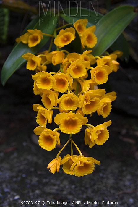 Dendrobium orchid flowers (Dendrobium fimbriatum) Singalila National Park, West Bengal, India.