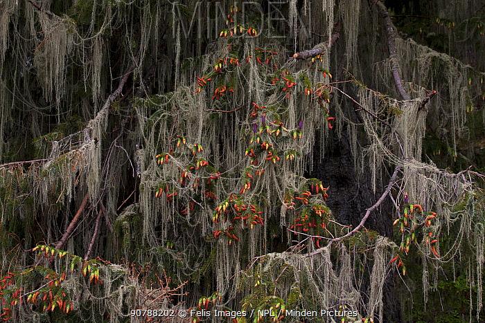 Sikkim spruce (Picea spinulosa) branches with male (purple) and female (orange) cones covered in Usnea lichen. Lava, Bhutan.