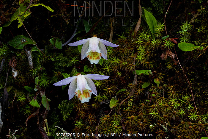 Peacock orchids (Pleione hookeriana) West Bengal, India
