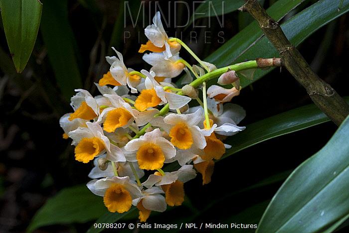 Dendrobium orchids (Dendrobium thyrsiflorum) West Bengal, India.