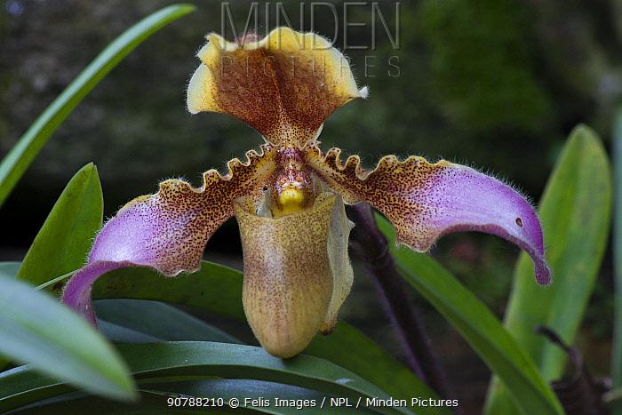 Venus slipper orchid (Paphiopedillum hirsutissimum) Sikkim, India.