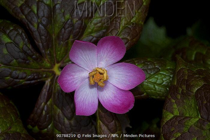 Close up of Himalayan mayapple (Podophyllum hexandrum) Sikkim, India.
