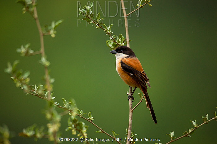 Long-tailed shrike (Lanius schach) perched on branch, India.