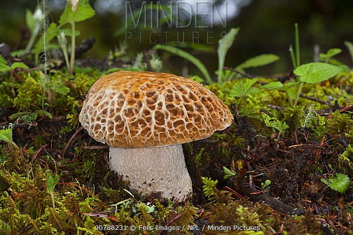 Morel mushroom (Morchella sp) fungus. Bhutan.