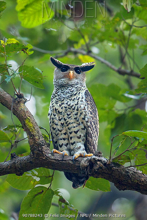 Spot-bellied eagle owl (Bubo nipalensis) perched on branch,  Jim Corbett National Park, Uttarakhand, India.